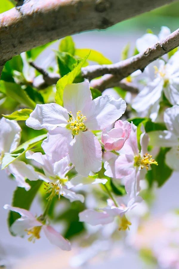 Apple-de bloemen van de bloesemlente stock afbeelding