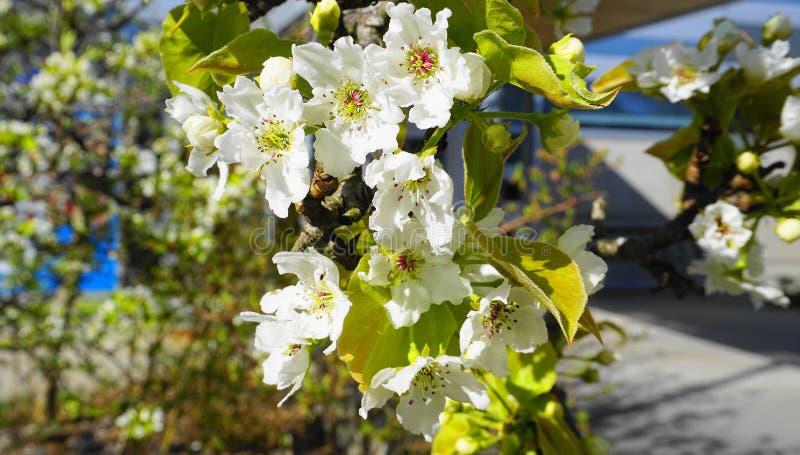 Apple-de boom in bloei met gevoelige witte vijf bloemblaadjesbloemen en de jonge groene bladeren sluiten omhoog stock foto's