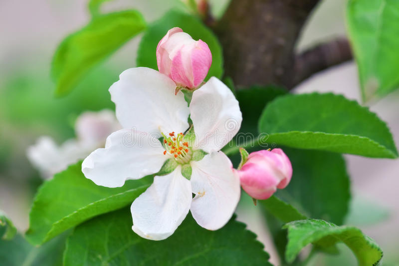 Apple-de boom komt close-up tot bloei royalty-vrije stock afbeeldingen