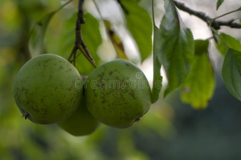 Apple-de boom vertakt zich Malus-pumila met groep rijpende vruchten, groene gouden - heerlijke appelen stock foto