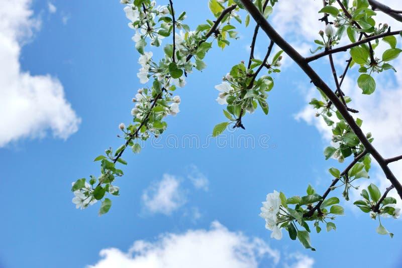 Apple-de boom vertakt zich de witte wolken van de bloemen blauwe hemel royalty-vrije stock foto
