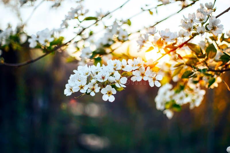 Apple de florescência ramifica no por do sol no close-up natural do ambiente natural fotografia de stock royalty free