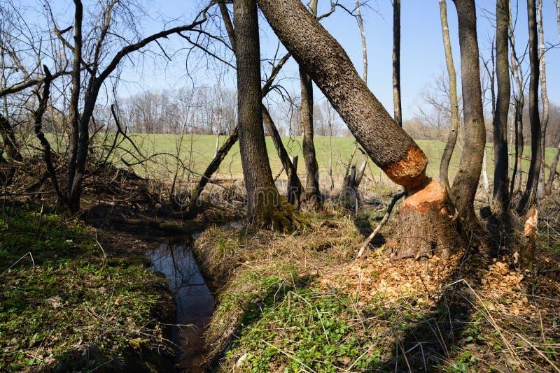 Apple-de lentetuin Gevallen boom over kleine beek met bever het bijten tekens royalty-vrije stock fotografie