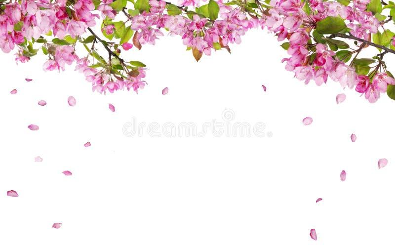 Apple-de takken van de boombloesem en dalende bloemblaadjes stock foto