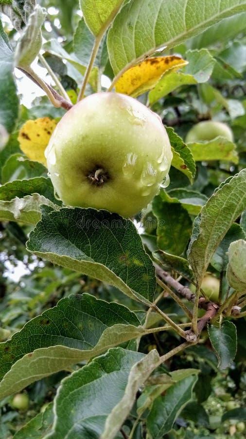 Apple in de tuin met koel water van de afgelopen regen wordt gewassen die stock fotografie