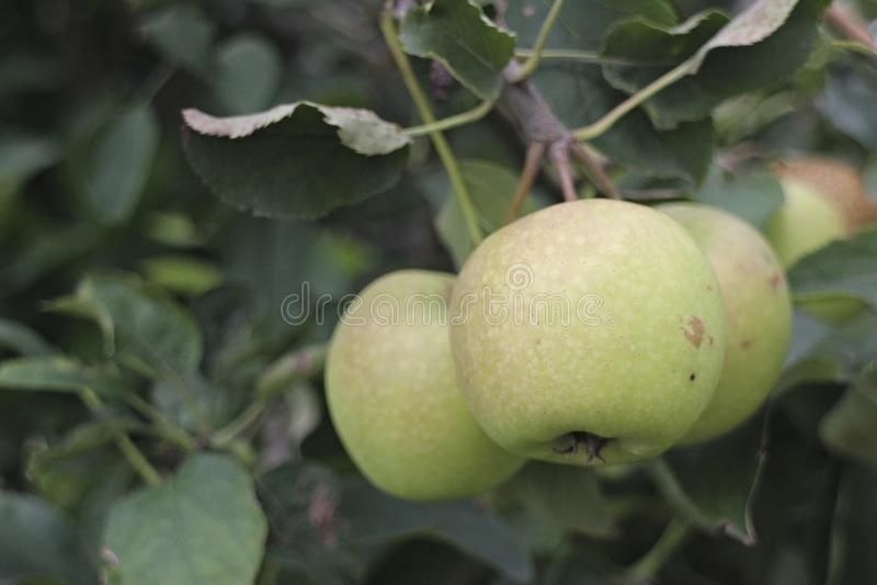 Apple di Malang, East Java immagini stock