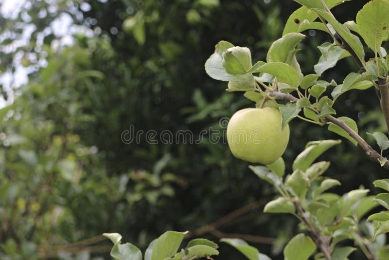 Apple di Malang, East Java fotografie stock