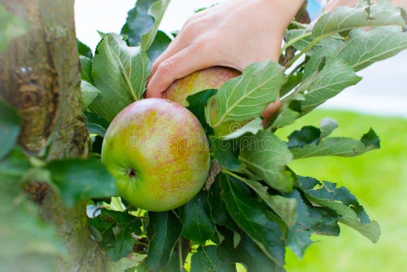 Apple die kind het plukken tuinappel oogsten stock fotografie