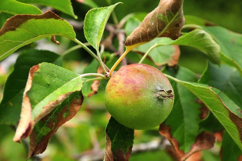 Apple dos reglindis do cultivar que penduram na árvore fotografia de stock