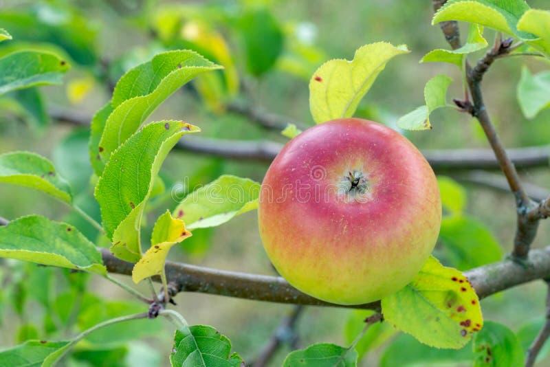 Apple em um branche da árvore de maçã fotografia de stock