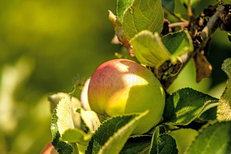 Apple em uma árvore imagens de stock royalty free
