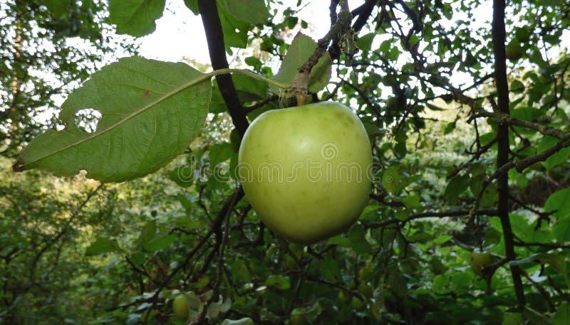Apple en árbol, encontró en un paseo a través del campo en el Reino Unido imagenes de archivo