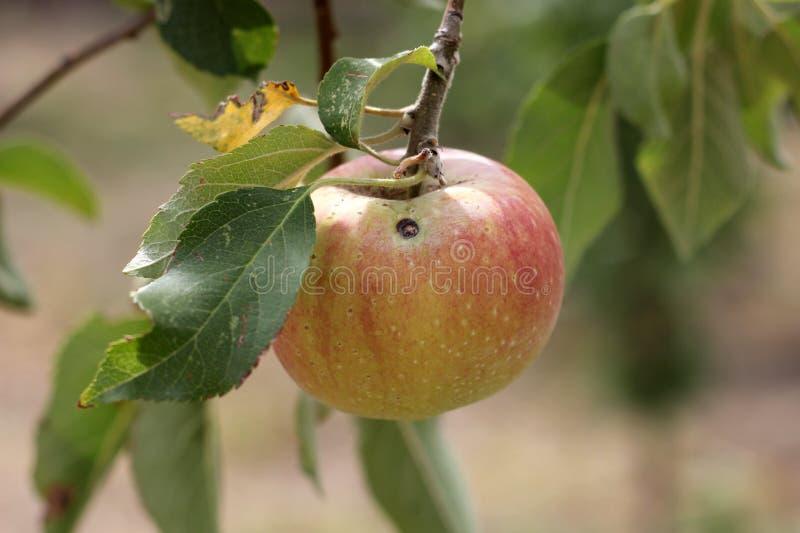 Apple en la ramificación fotografía de archivo