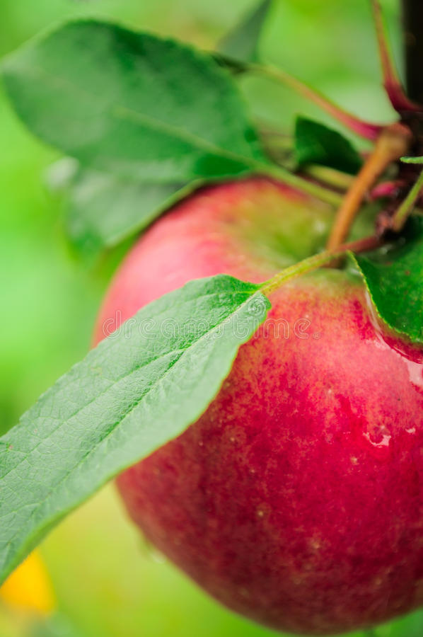 Apple en la ramificación de árbol fotos de archivo