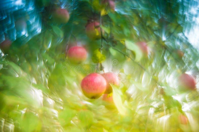 Apple en un árbol, caída del detalle de la naturaleza imágenes de archivo libres de regalías