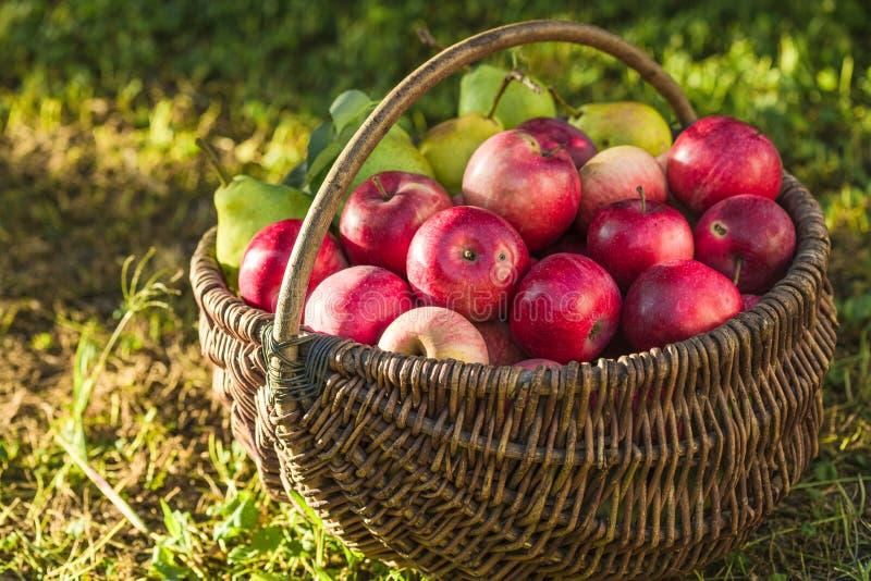 Apple ernten reife rote Äpfel im Korb auf dem grünen Gras Apple ernten reife rote Äpfel lizenzfreie stockfotos