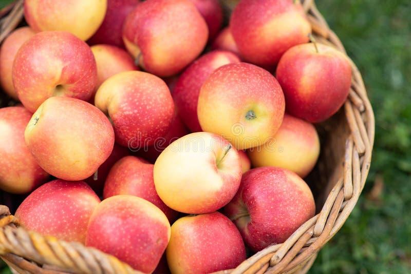Apple ernten reife rote Äpfel im Korb und in der dunklen hölzernen Kiste im roten Lastwagen auf dem grünen Gras Kopieren Sie Plat lizenzfreie stockbilder