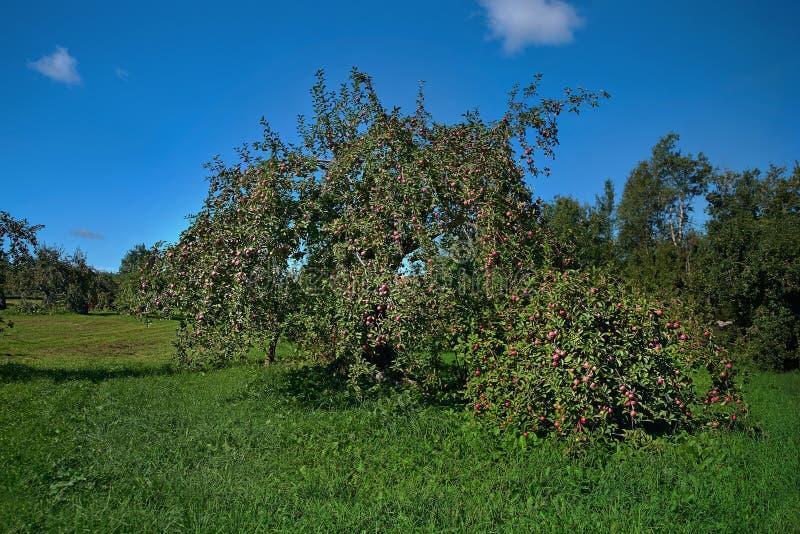 Apple fa il giardinaggio il giorno soleggiato di autunno del fondo della natura Giardinaggio e raccogliere I raccolti della mela  immagini stock