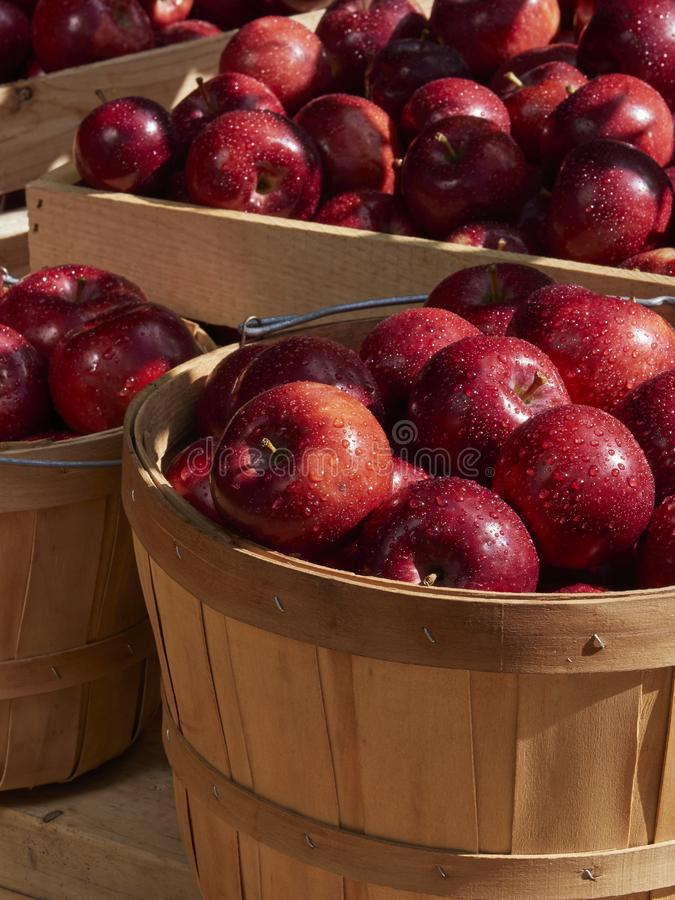 Apple fall harvest in a basket in the sunshine royalty free stock images