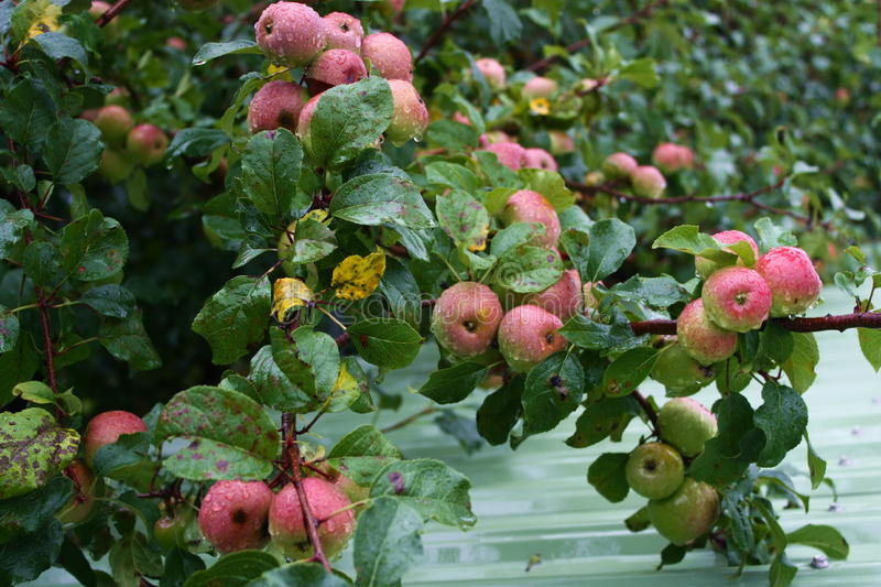 Download Apple farm stock image. Image of ripe, fruit, pink, agriculture - 10286169