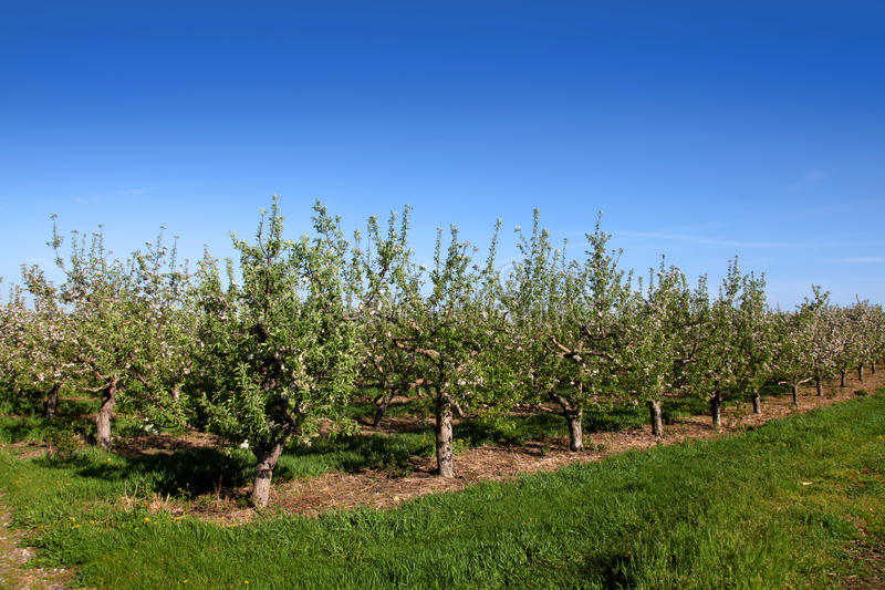 Apple farm. In the summer time royalty free stock images