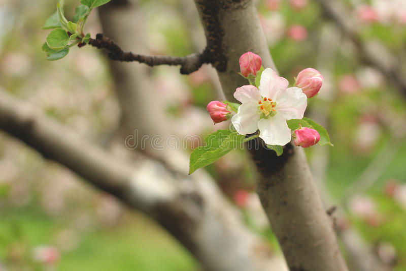 Apple fiorisce in molla in anticipo fotografia stock libera da diritti