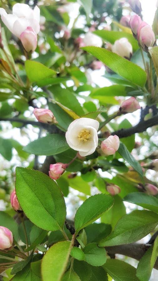 Apple fleurissent au printemps temps photographie stock