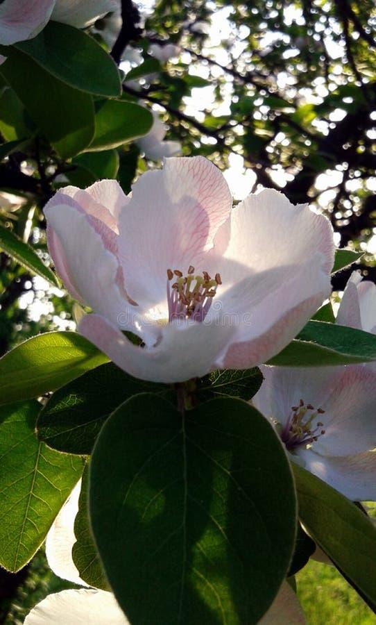 Apple fleurissent au soleil image stock