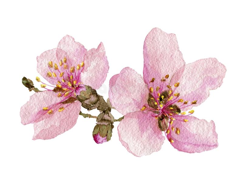 Apple fleurissent Les fleurs de ressort sont roses illustration libre de droits
