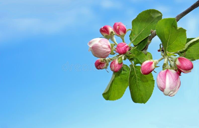 Apple florece los brotes delante del cielo azul fotografía de archivo
