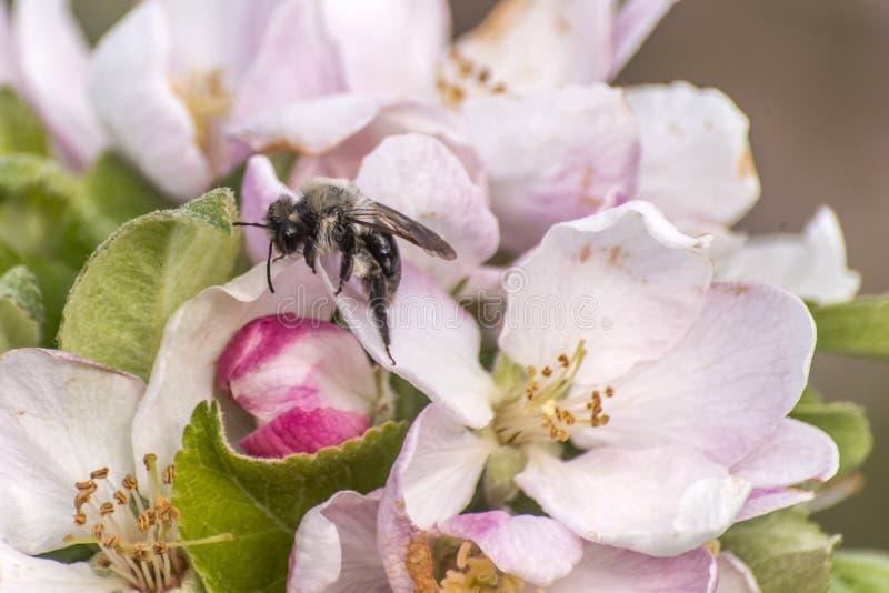Apple floresce árvore tropeça a flor da abelha do mel que recolhe o makro do close up do pólen imagem de stock royalty free