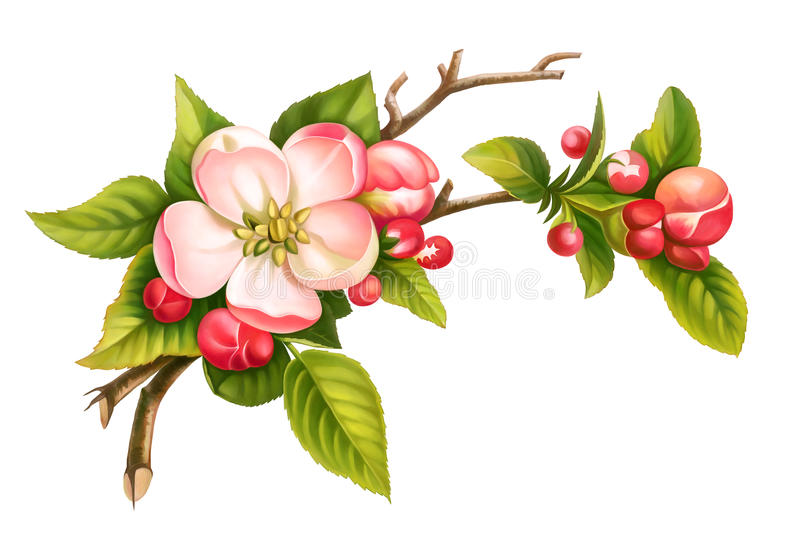Apple floresce as folhas brancas do verde das flores do vintage do rosa da mola do ramo isoladas no fundo branco Ilustração da aq ilustração stock