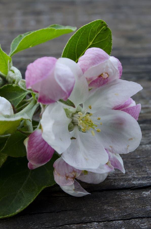 Apple floresce flor fotos de stock royalty free