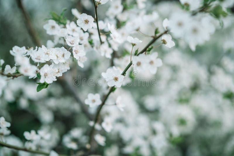 Apple floresce fundo Teste padrão de flores da estação de mola foto de stock