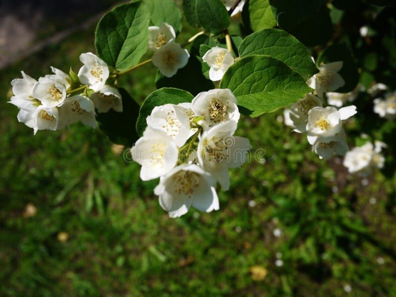 Apple floresce na mola Natureza bonita na mola foto de stock