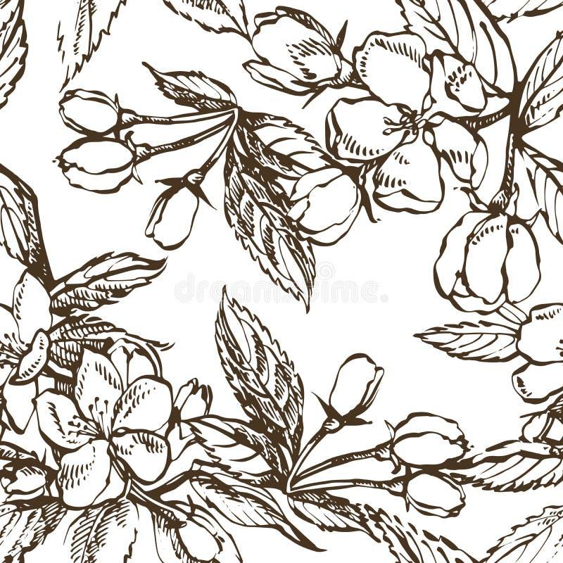 Apple floresce ramo isolado no branco Ilustração tirada do vintage mão botânica Flores da mola da árvore de maçã ilustração stock