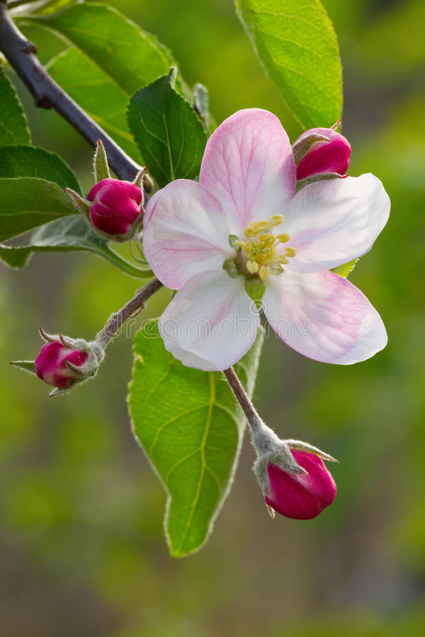 Apple flower stock photo