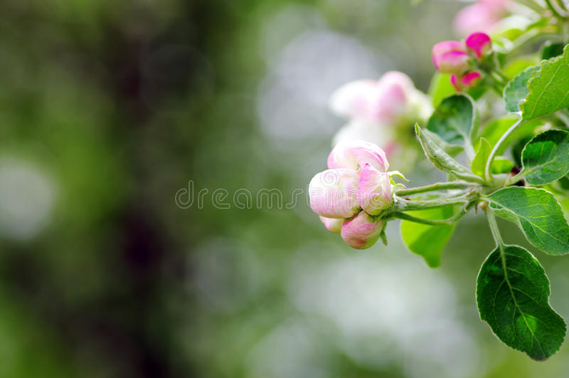 Download Apple flower stock photo. Image of border, beautiful - 19538604
