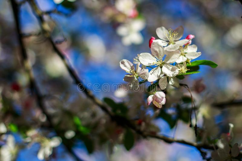 Apple flower stock image