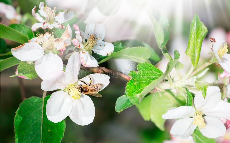 Apple Flower with bee collecting nectar to produce medicinal Manuka Honey. Nature spring royalty free stock images