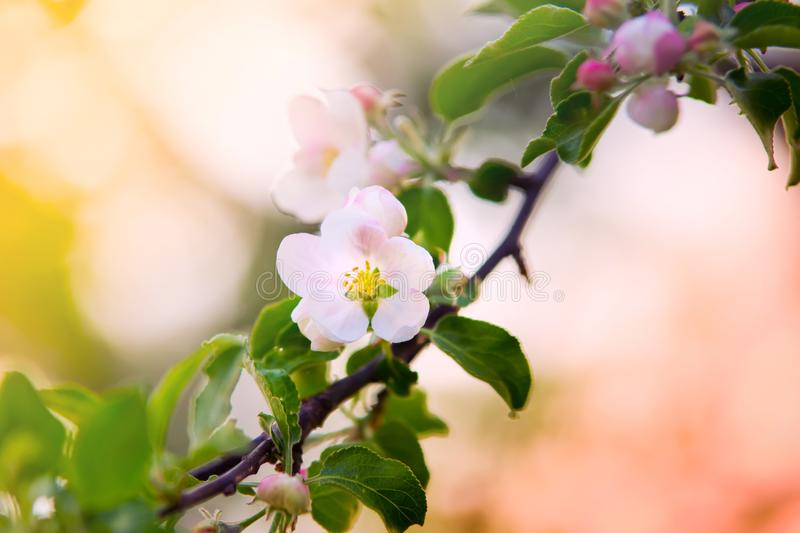 Apple flower on branch on sunny spring background. Colorful spring backdrop royalty free stock photo