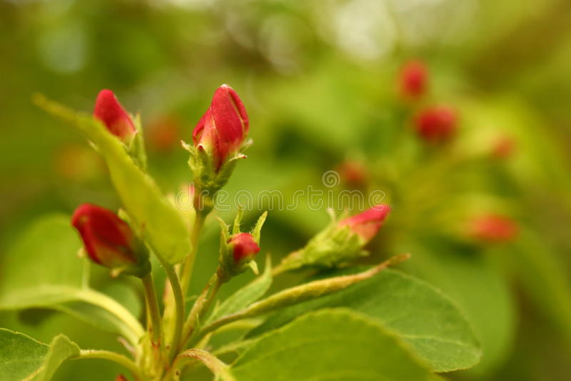 Apple flower buds in spring royalty free stock photos