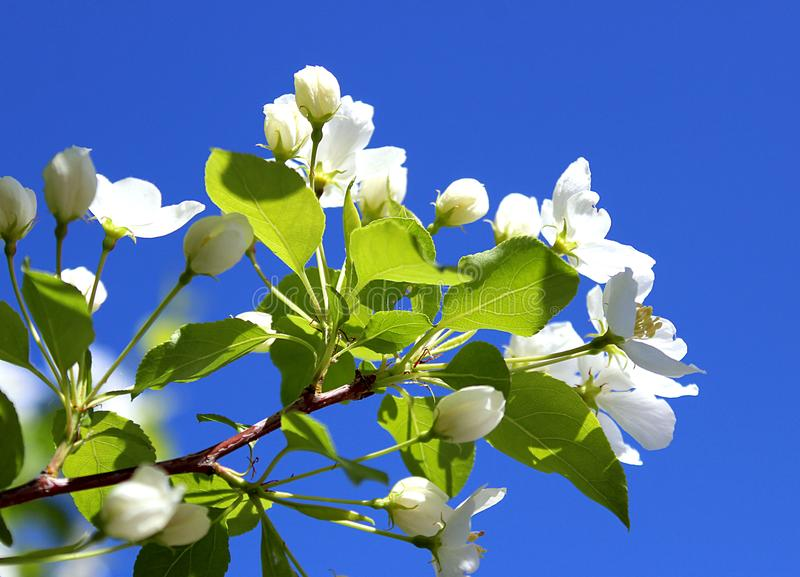 Sprig of an apple-tree flower against a blue sky background. Apple, flower, tree, background, white, isolated, spring, branch, flowers, bloom, nature, blooming royalty free stock image