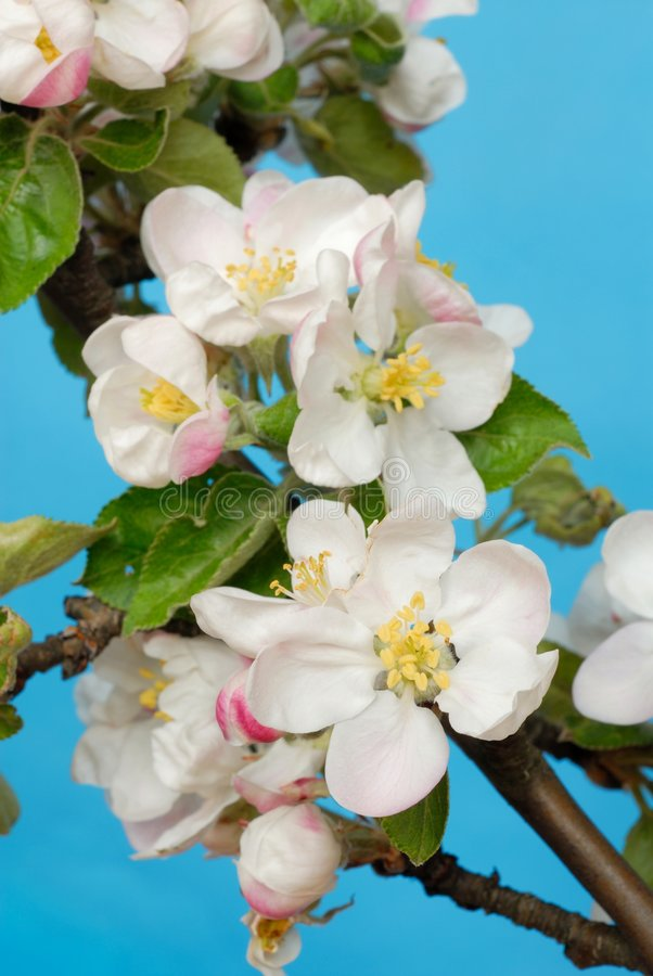 Apple Flowers royalty free stock image