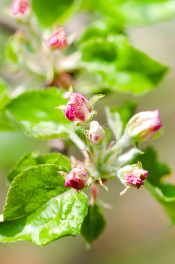 Apple flowers, blooming in late spring. Summer wallpaper. With colorful background royalty free stock image