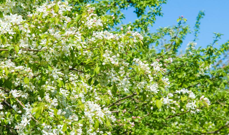 Apple Flowers, Apple blossom. in the sunshine over natural green background.  tree white blossoms in Spring stock photos
