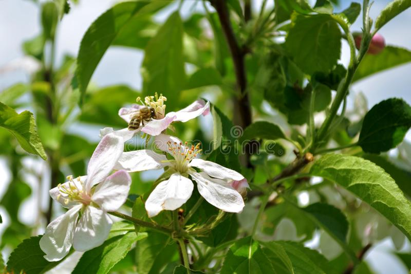 Apple flowers on a branch in the garden, on the inflorescence sits a bee, under the sun, macro stock images