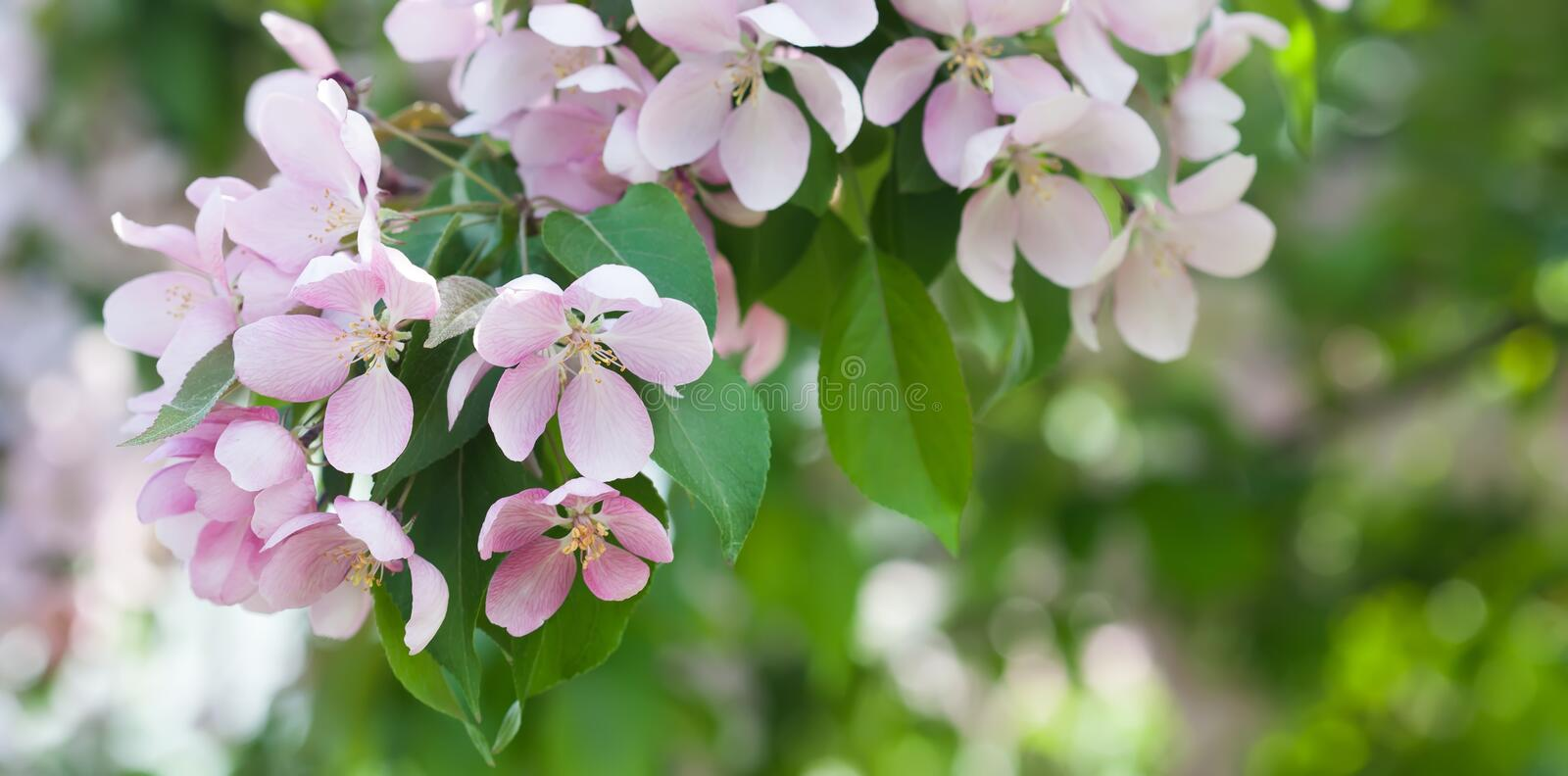 Apple flowers branch macro view. Blooming fruit tree. pistil, stamen, petal detailed image. Spring nature landscape royalty free stock photos