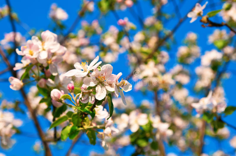 Apple flowers in full blossom during springtime royalty free stock images