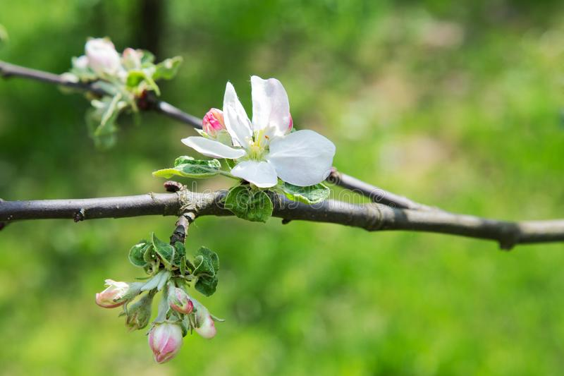 Apple flowers on grass background. On a sunny spring day stock photos